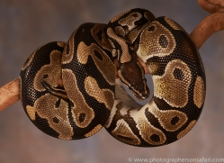 royal-python-copyright-photographers-on-safari-com-8177