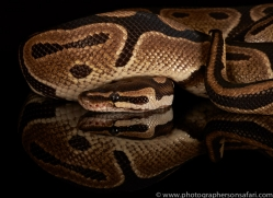 royal-python-copyright-photographers-on-safari-com-8661