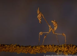 wandering-violin-mantis-copyright-photographers-on-safari-com-8178