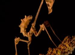 wandering-violin-mantis-copyright-photographers-on-safari-com-8179