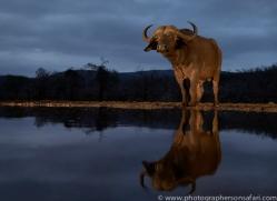african-buffalo-copyright-photographers-on-safari-com-7821