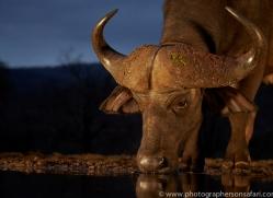 african-buffalo-copyright-photographers-on-safari-com-7822