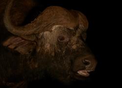 african-buffalo-copyright-photographers-on-safari-com-7828