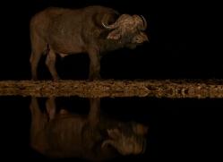 african-buffalo-copyright-photographers-on-safari-com-7833