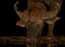 african-buffalo-copyright-photographers-on-safari-com-7834