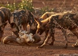 african-wild-dogs-copyright-photographers-on-safari-com-7840