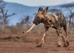 african-wild-dogs-copyright-photographers-on-safari-com-7846