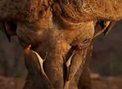 african-buffalo-copyright-photographers-on-safari-com-7819