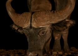 african-buffalo-copyright-photographers-on-safari-com-7827