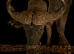 african-buffalo-copyright-photographers-on-safari-com-7836