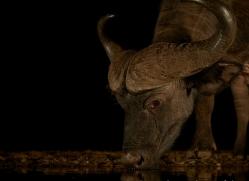 african-buffalo-copyright-photographers-on-safari-com-7837