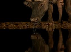african-buffalo-copyright-photographers-on-safari-com-7838