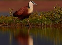 african-jacana-copyright-photographers-on-safari-com-7839