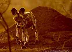 african-wild-dogs-copyright-photographers-on-safari-com-7842
