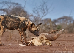 african-wild-dogs-copyright-photographers-on-safari-com-7845