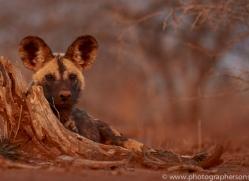 african-wild-dogs-copyright-photographers-on-safari-com-7848