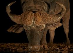 african-buffalo-copyright-photographers-on-safari-com-7825