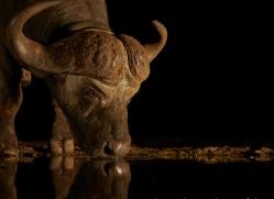 african-buffalo-copyright-photographers-on-safari-com-7830
