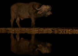 african-buffalo-copyright-photographers-on-safari-com-7833