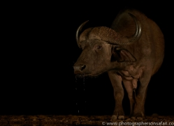 african-buffalo-copyright-photographers-on-safari-com-7835