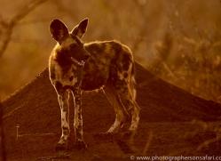 african-wild-dogs-copyright-photographers-on-safari-com-7841