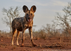 african-wild-dogs-copyright-photographers-on-safari-com-7843
