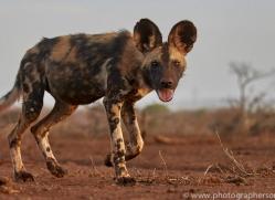 african-wild-dogs-copyright-photographers-on-safari-com-7844