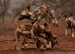 african-wild-dogs-copyright-photographers-on-safari-com-7852