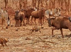 african-wild-dogs-copyright-photographers-on-safari-com-7856-1