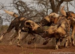 african-wild-dogs-copyright-photographers-on-safari-com-7859-1