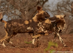 african-wild-dogs-copyright-photographers-on-safari-com-7860-1