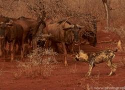 african-wild-dogs-copyright-photographers-on-safari-com-7862-1