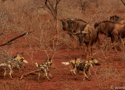 african-wild-dogs-copyright-photographers-on-safari-com-7863-1