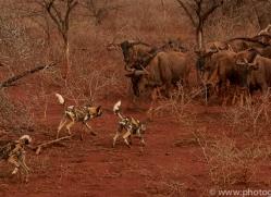 african-wild-dogs-copyright-photographers-on-safari-com-7864-1
