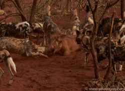 african-wild-dogs-copyright-photographers-on-safari-com-7867-1