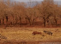 african-wild-dogs-copyright-photographers-on-safari-com-7870-1