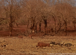african-wild-dogs-copyright-photographers-on-safari-com-7871-1