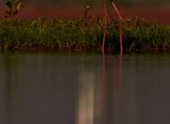 black-winged-stilt-copyright-photographers-on-safari-com-7872-1