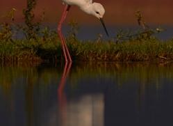 black-winged-stilt-copyright-photographers-on-safari-com-7873-1