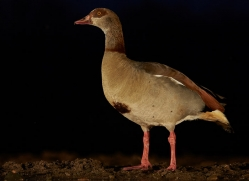 egyptian-goose-copyright-photographers-on-safari-com-7874-1