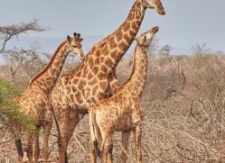 giraffe-copyright-photographers-on-safari-com-7877-1