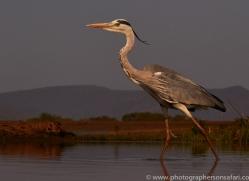 grey-heron-copyright-photographers-on-safari-com-7880-1