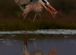 grey-heron-copyright-photographers-on-safari-com-7881-1