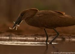 hammerkopf-copyright-photographers-on-safari-com-7882-1
