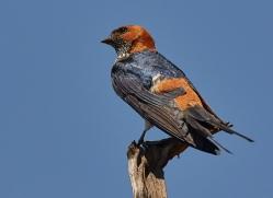 lesser-striped-swallow-copyright-photographers-on-safari-com-7884-1