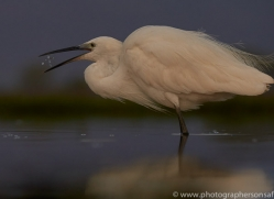 little-egret-copyright-photographers-on-safari-com-7818-1