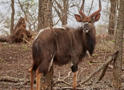 nyala-copyright-photographers-on-safari-com-7886-1