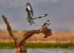 pied-kingfisher-copyright-photographers-on-safari-com-7889-1