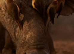 red-billed-oxpecker-copyright-photographers-on-safari-com-7890-1