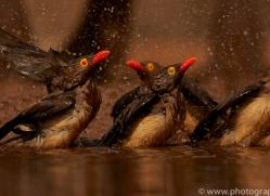 red-billed-oxpecker-copyright-photographers-on-safari-com-7895-1